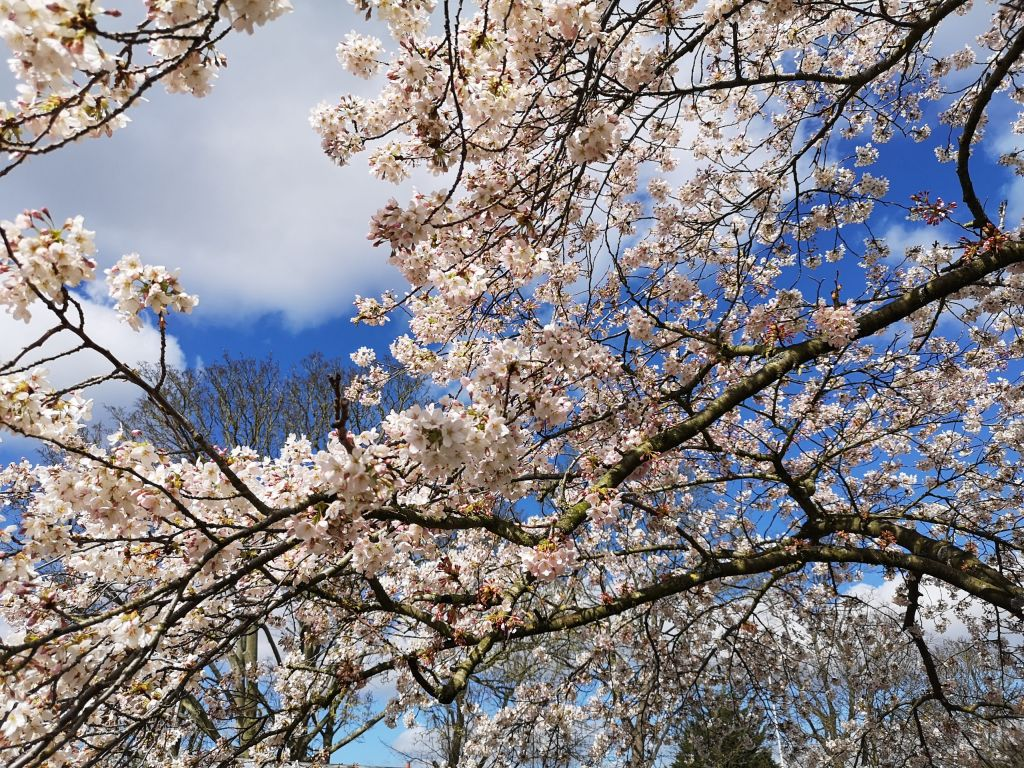 Cherry Blossom above the field
